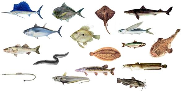 Poissons biologie et classifications for Acheter poisson rouge liege